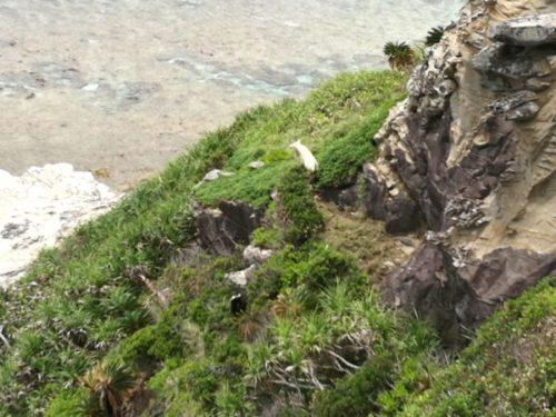 渡嘉敷島の阿波連園地展望台にいるヤギ
