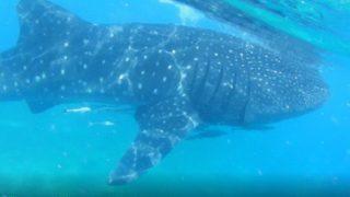 【セブ】シュノーケリングでジンベイザメと泳ぐ方法と手順・ポイント