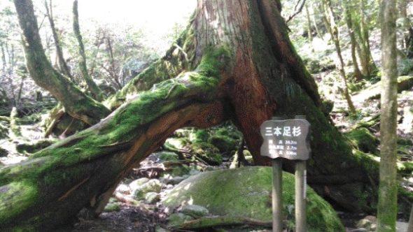 【屋久島】白谷雲水峡往復の所要時間と見どころ【登山初心者が紹介】12