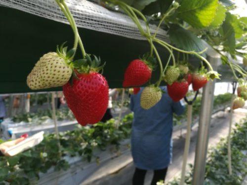 堺市北区でいちご狩りができる農園「いちごの堺」を詳しく紹介します2