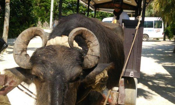 竹富島の水牛車でまったり観光
