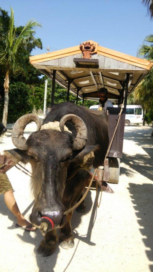 竹富島のおすすめ観光スポット1水牛車