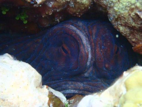 竹富島のおすすめダイビング体験スポット(ポイント)で会えるハナゴイ
